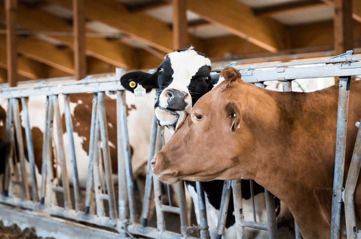 Rinder auf dem Bauernhof in Tirol