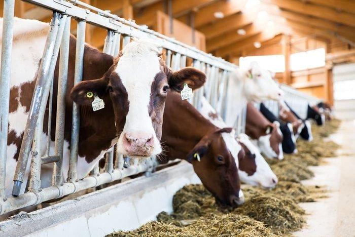 Unsere Rinder im Bauernhof